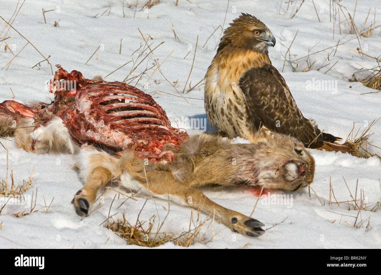 Red-Tailed Hawk Buteo jamaicensis feeding on deer carcass Eastern USA - Stock Image