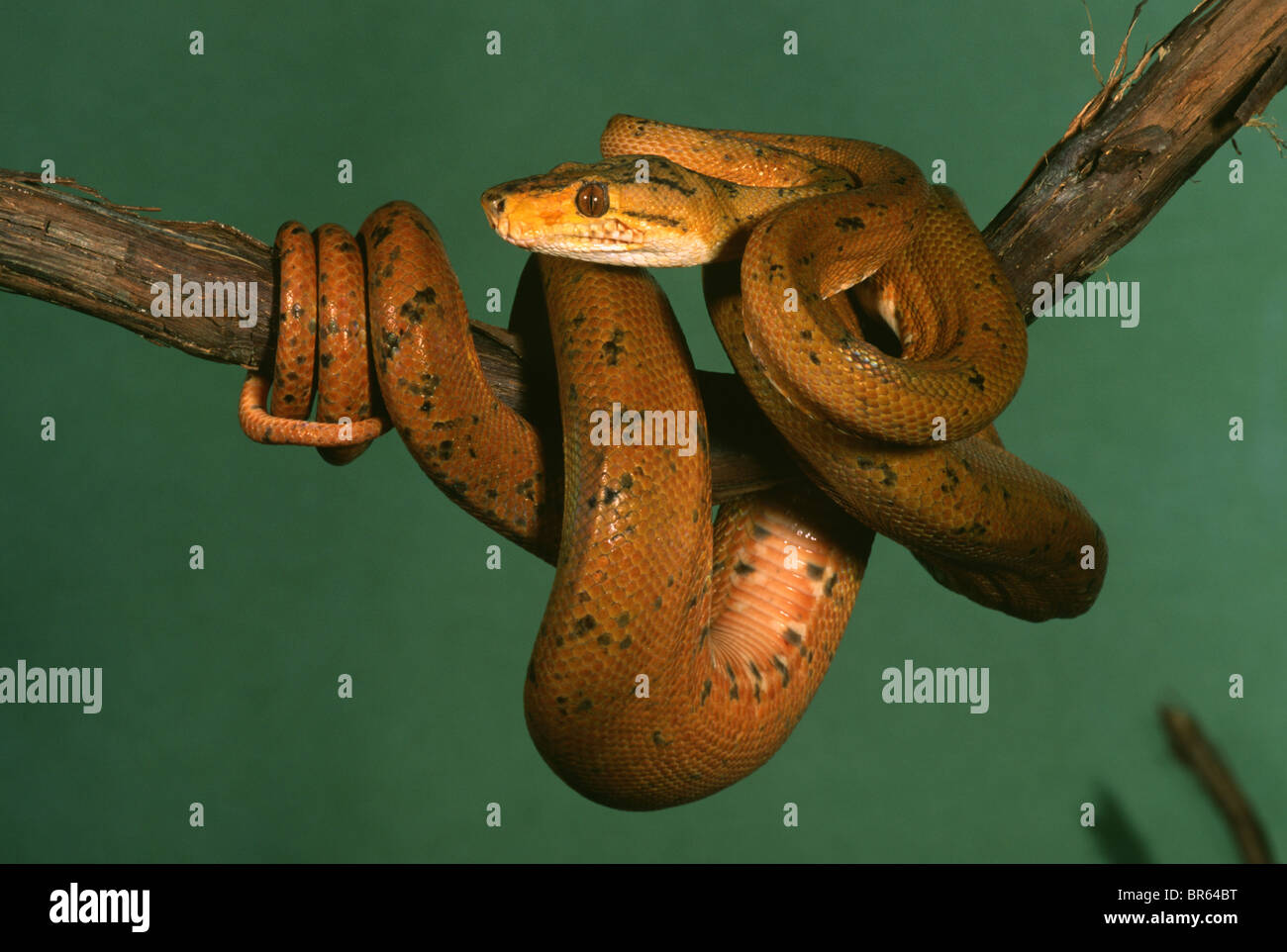 Amazon Tree Boa Corallus enydris hortulanus South America Stock ...