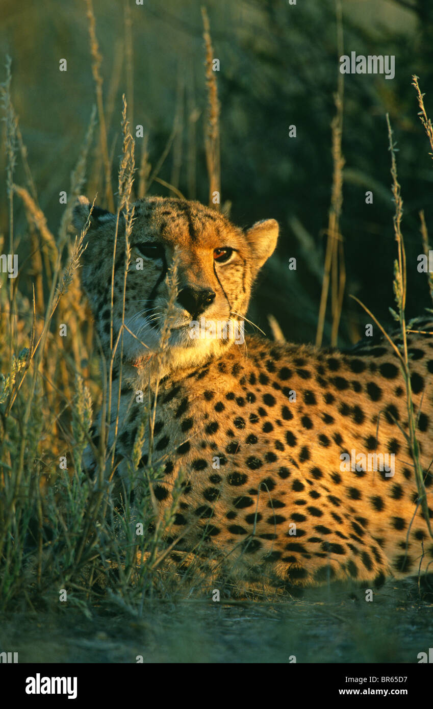 Cheetah Acinonyx jubatus resting in grass South Africa - Stock Image