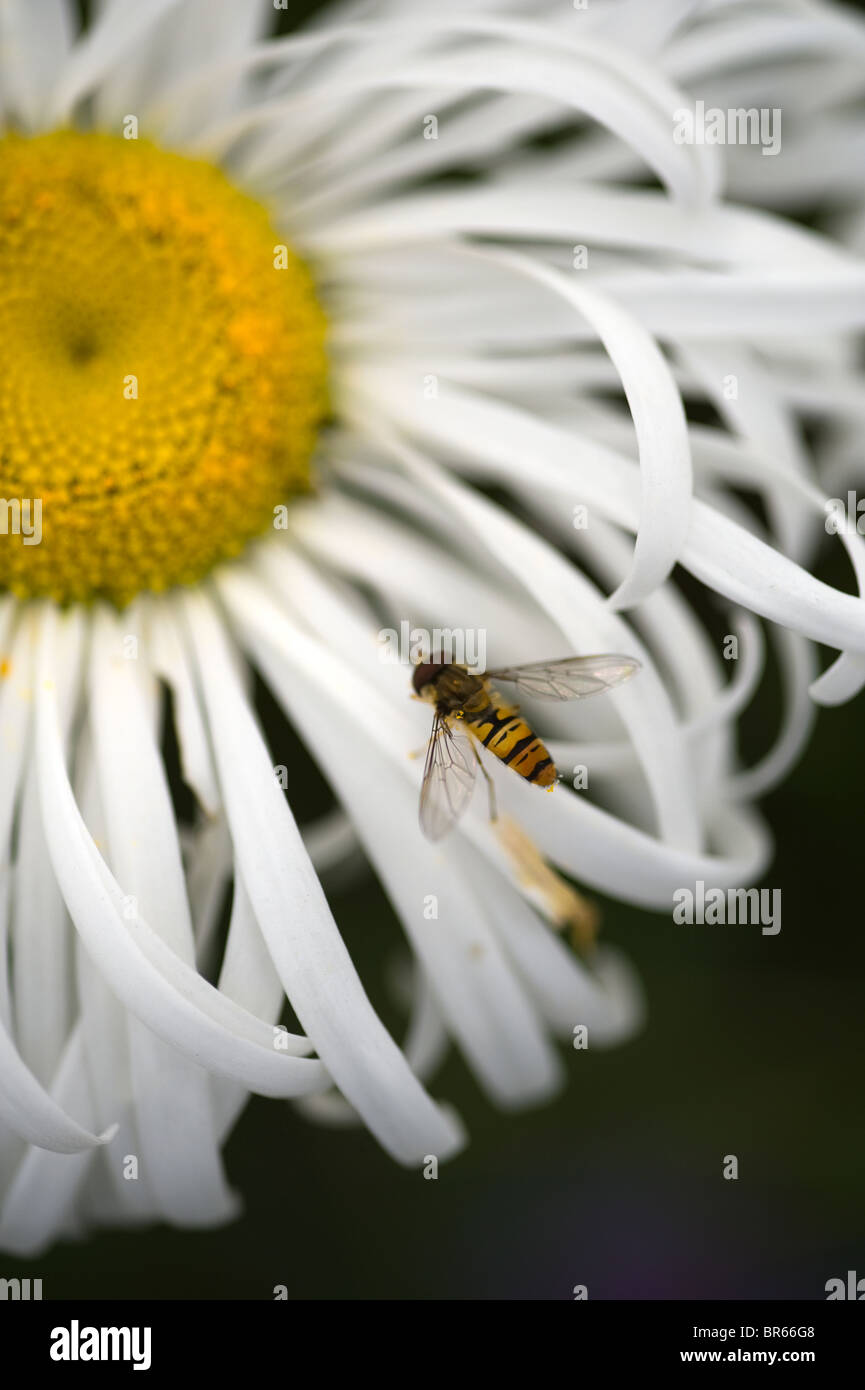 hoverfly on leucanthemum - Stock Image