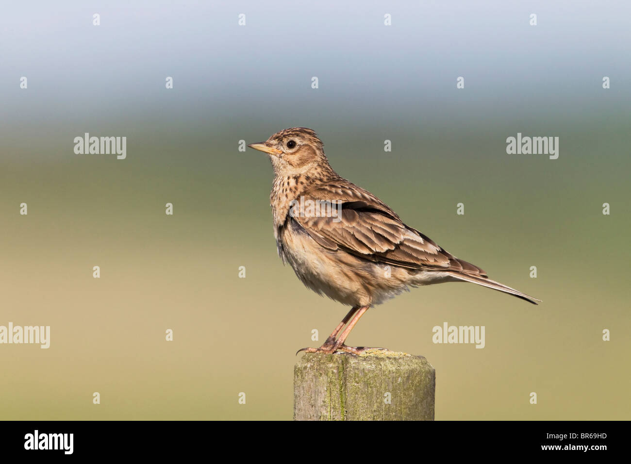 An adult Skylark perched on fence post - Stock Image