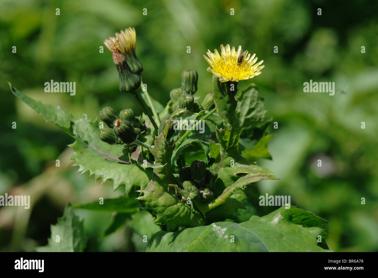 Yellow sow thistle flower stock photos yellow sow thistle flower smooth sow thistle sonchus oleraceus flower bud and seedheads forming stock mightylinksfo