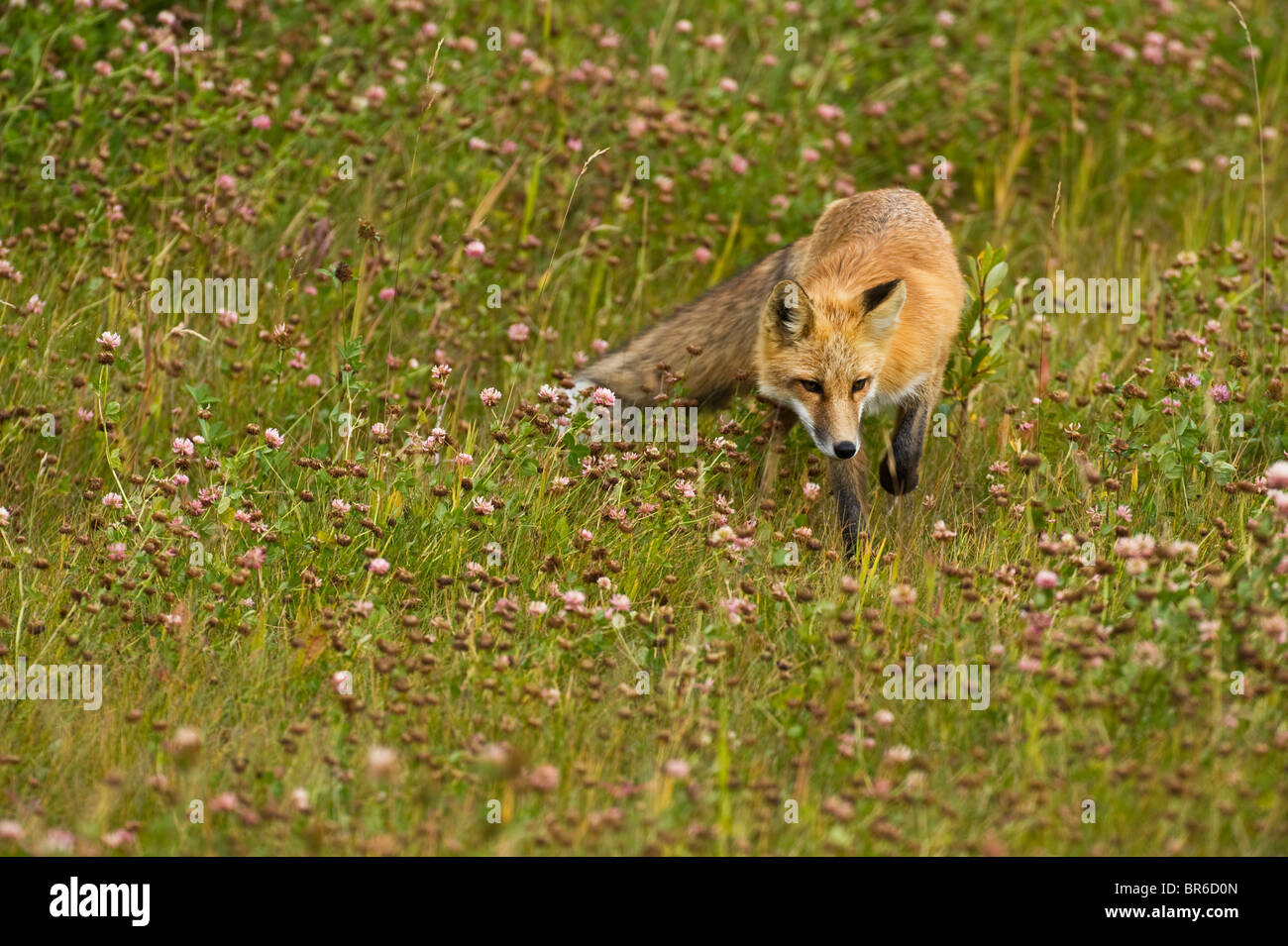 A red fox stalking through a wild grassy meadow looking for prey. - Stock Image