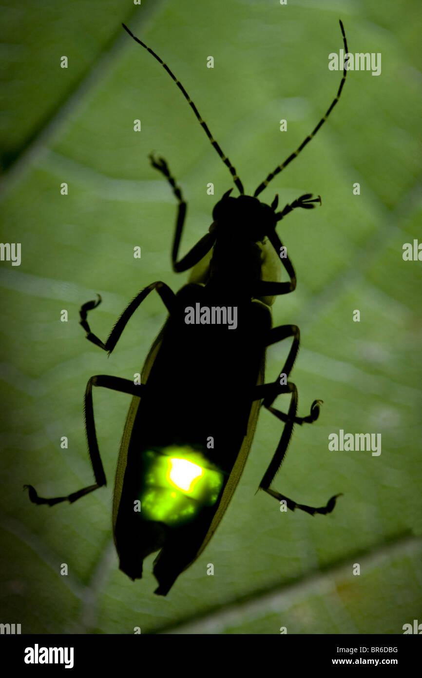Firefly Flashing at Night - Lightning Bug - Stock Image