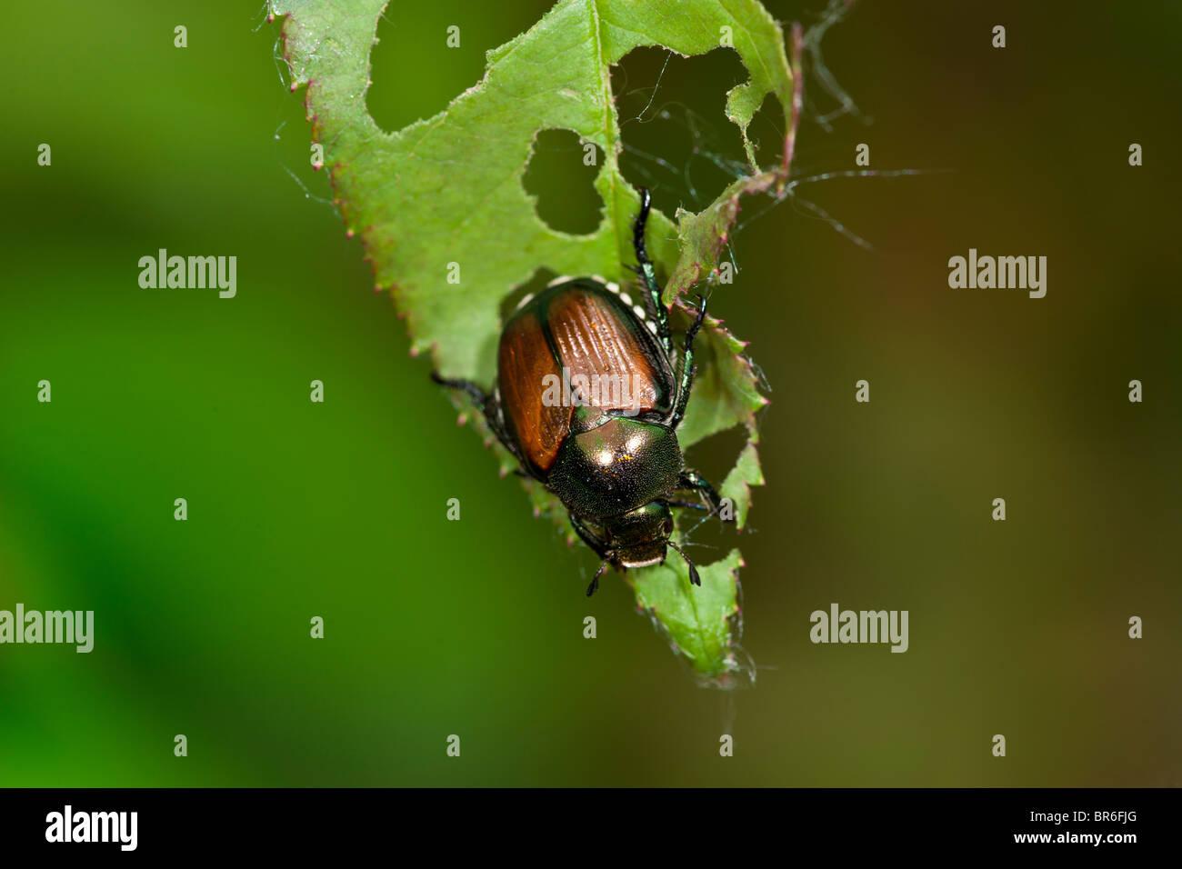 Japanese Beetle eating Rose plant leaves - Stock Image