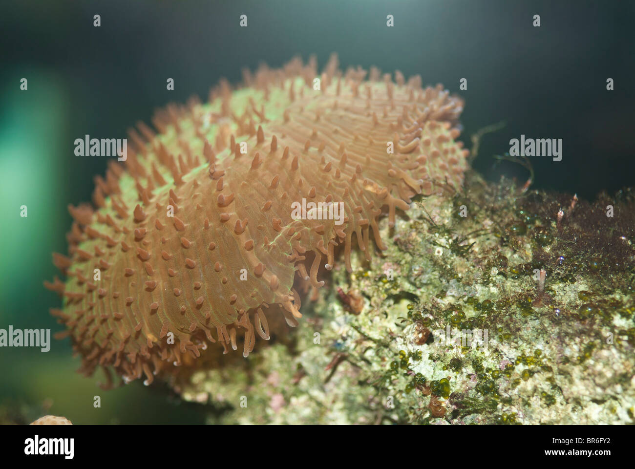 Hairy mushroom coral, Rhodactis indosinensis, marine invertebrate, reef animal; native to Indo-Pacific Ocean - Stock Image