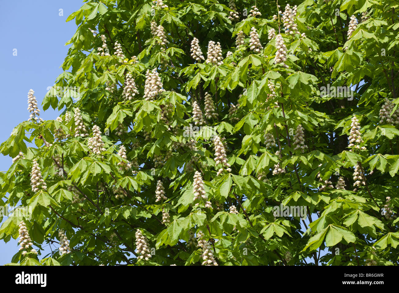 Horse chestnut tree in blossom in the Cotswold village of Laverton, Gloucestershire - Stock Image