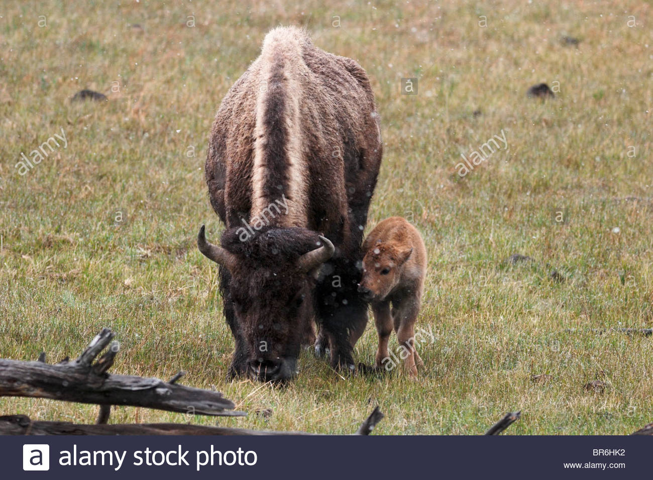 Baby Bison Calf Showing Affection To Mother Yellowstone
