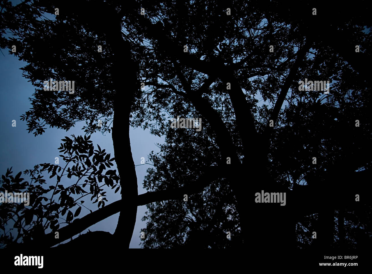 Color photo of tree silhouette with blue tone - Stock Image