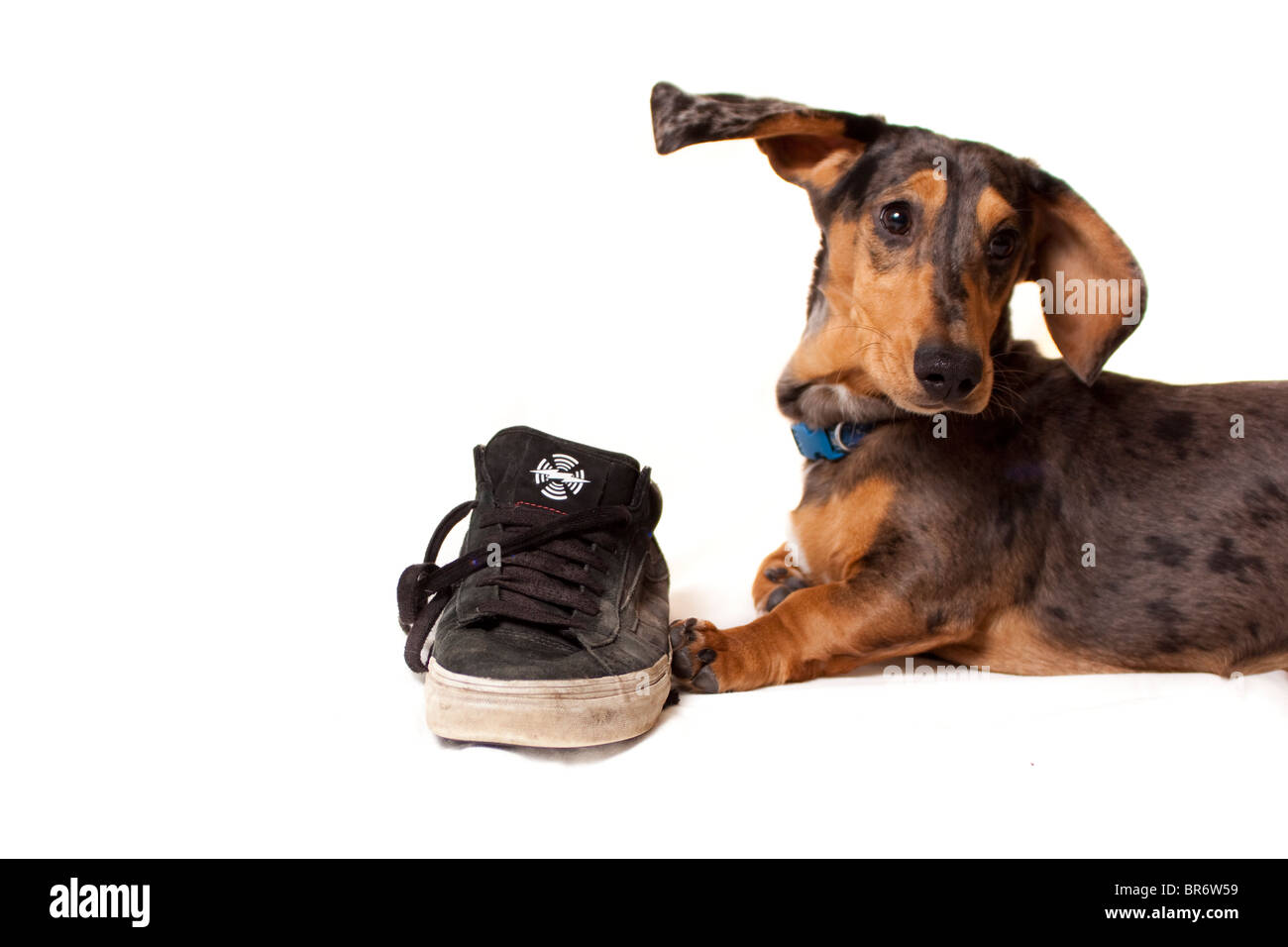 dog - chewing trainer - Stock Image