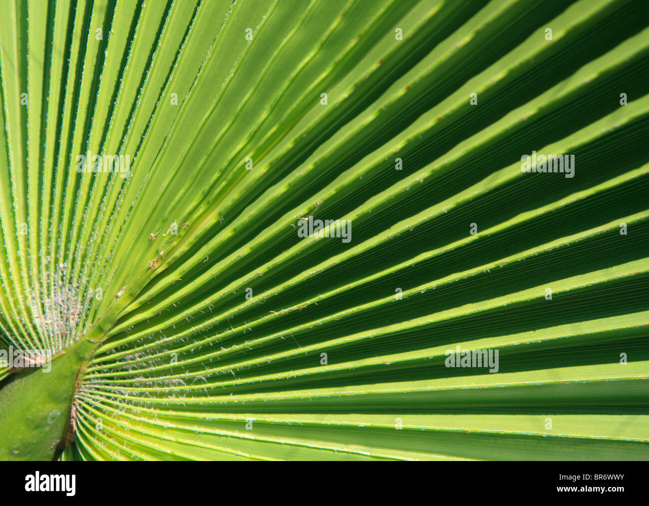 Very detailed high resolution close-up shot of a fresh green palm leave Stock Photo