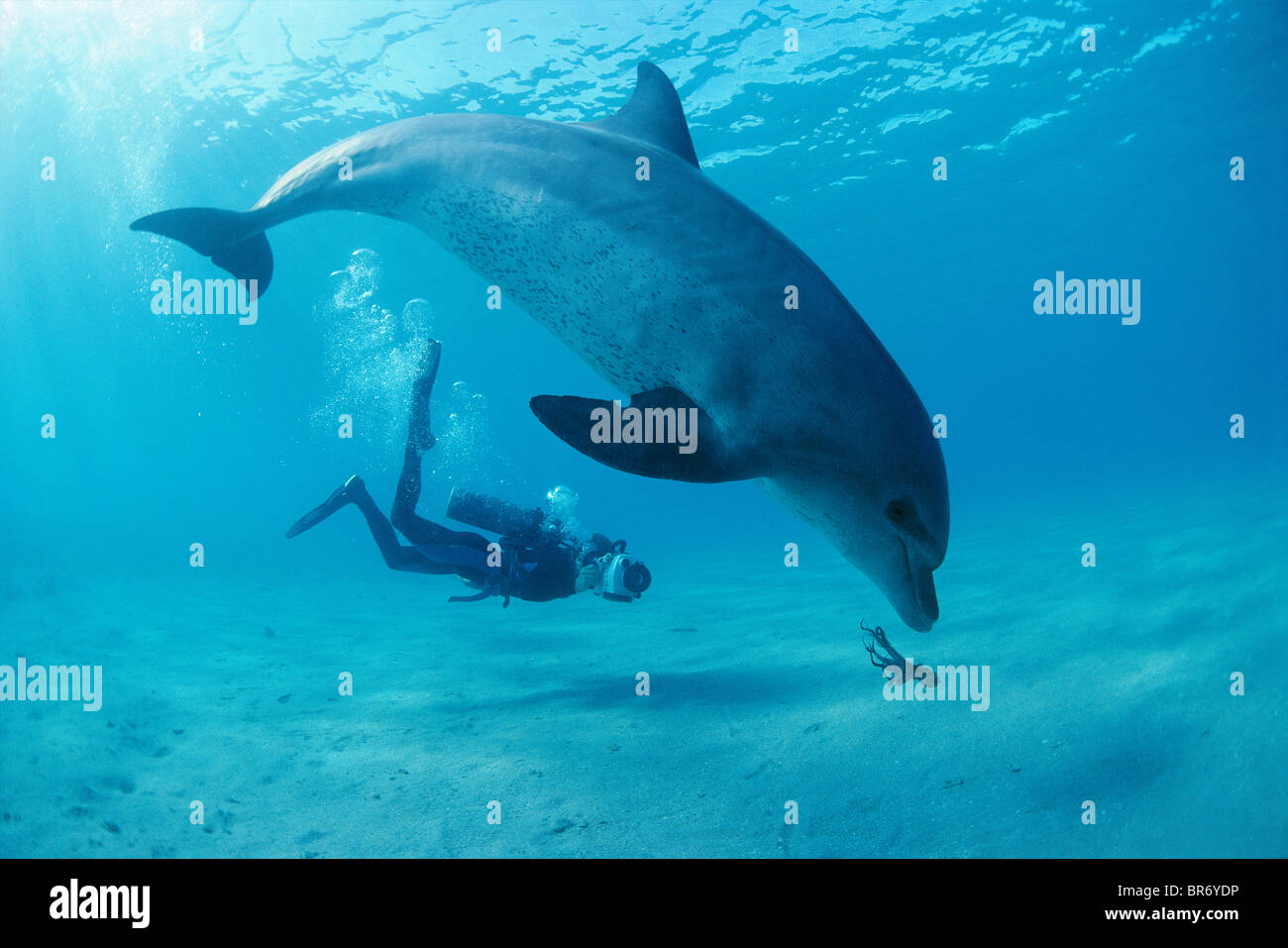 Diver films bottlenose dolphin playing with octopus. Egypt, Red Sea Stock Photo
