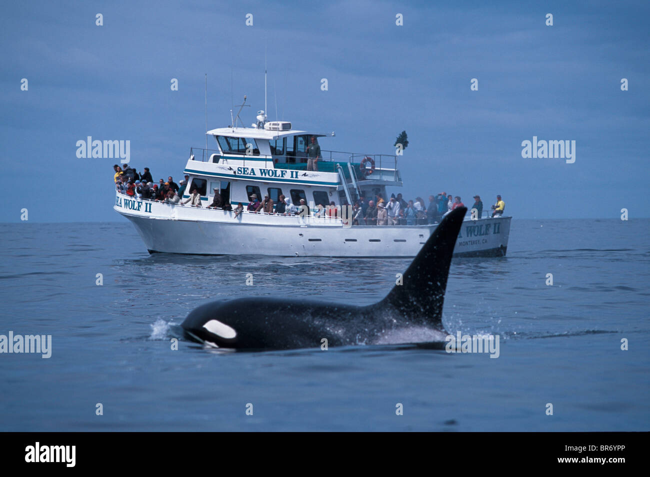 Adult male transient killer whale {Orcinus orca) + whale watching boat. Monterey Bay, California, USA. Stock Photo