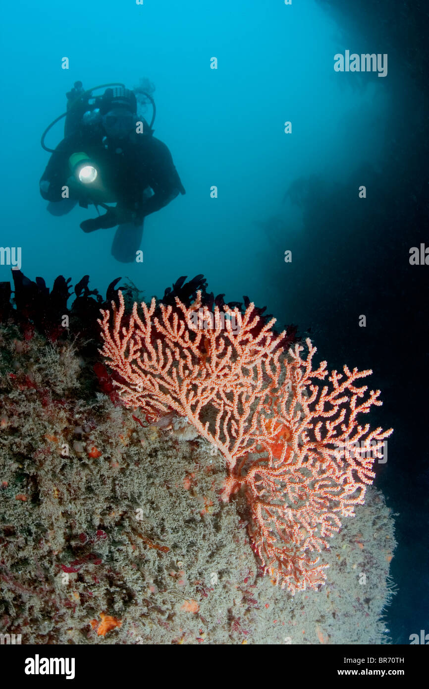 Diver with Warty / Pink sea fan coral {Eunicella verrucosa} Channel Islands, UK. Model Released. Stock Photo