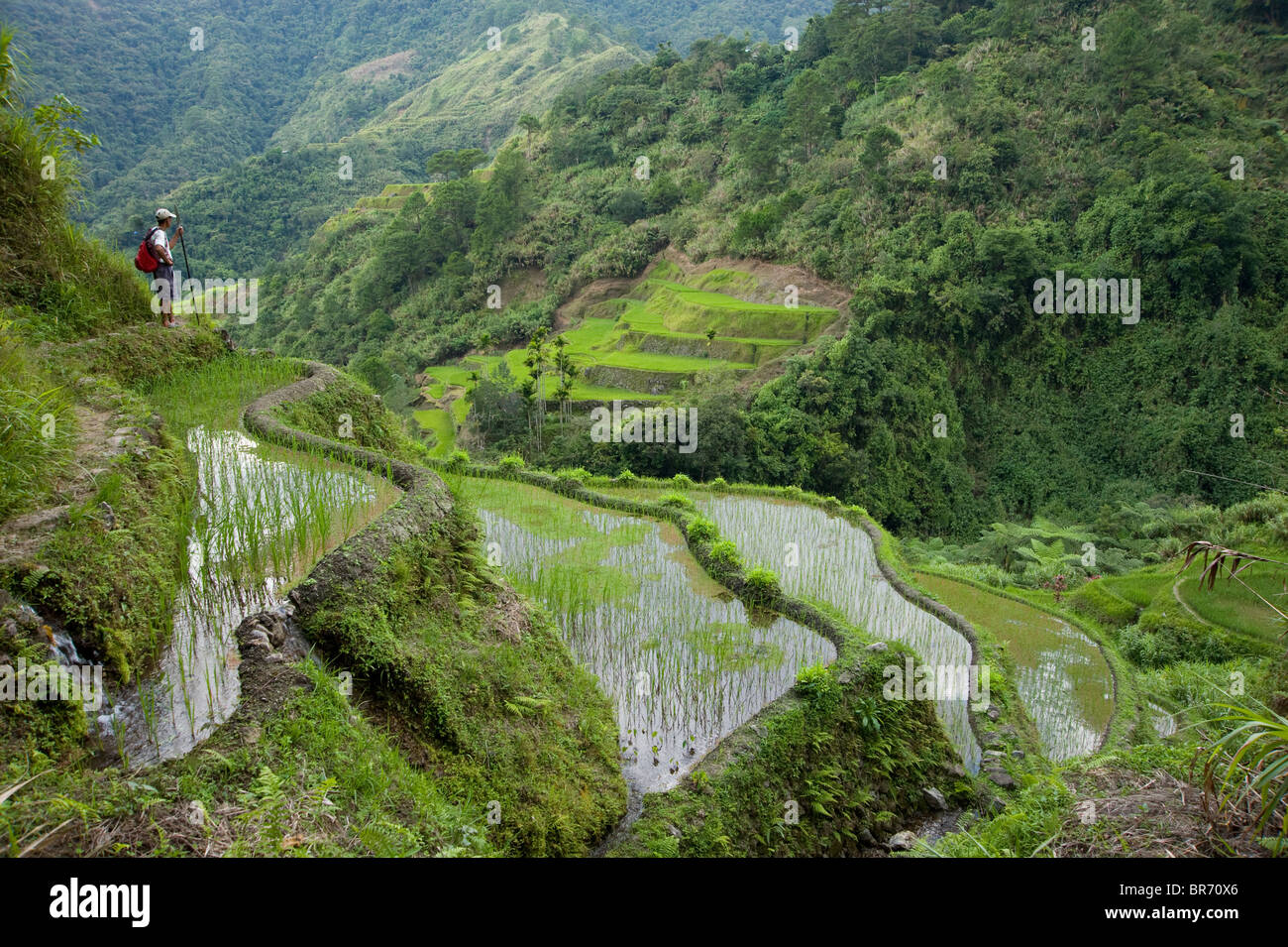 Man looking out over newly planted rice paddy fields (Oryza sp.), Banaue Rice Terraces, Philippines.  UNESCO World - Stock Image