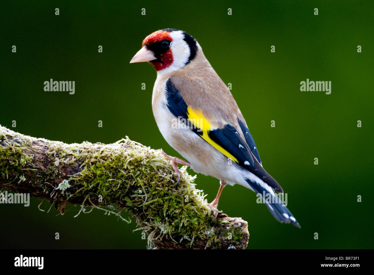Goldfinch on a mossy / moss perch Carduelis carduelis - Stock Image