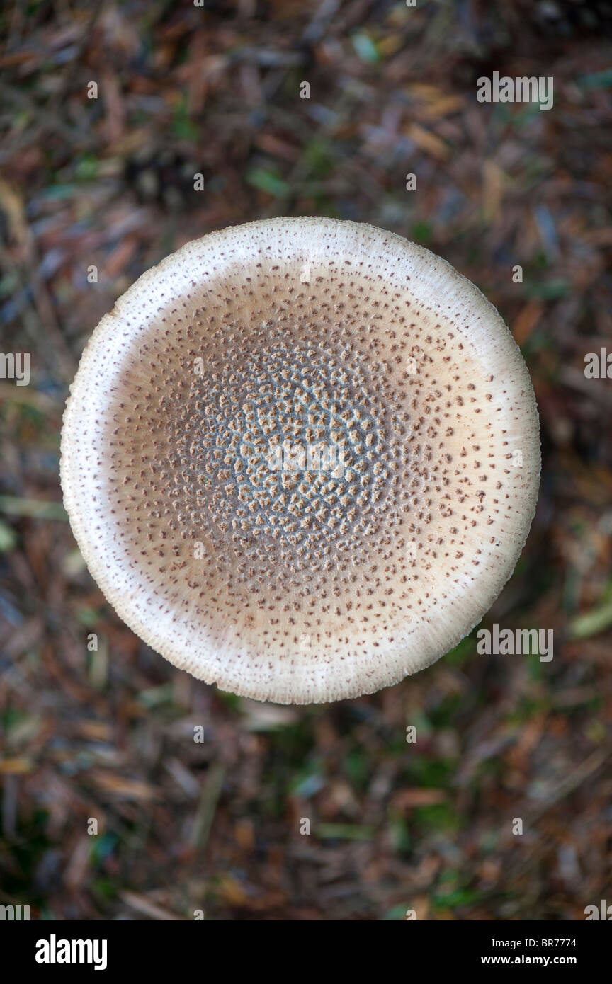 Amanita rubescens. The blusher mushroom - Stock Image