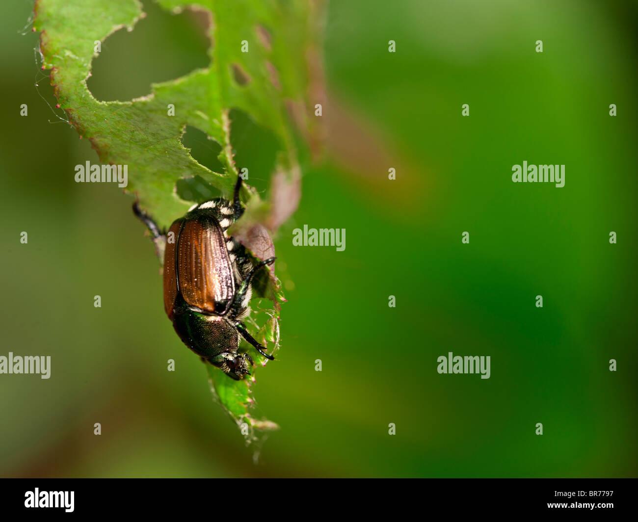 Invasive Japanese Beetle on a Rose leaf. - Stock Image