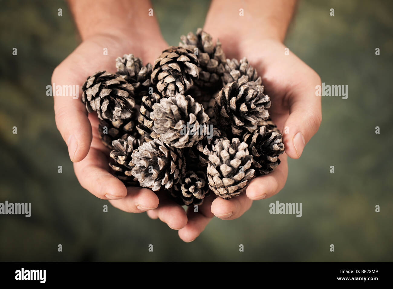 Man holding old pine cones in his hands - Stock Image