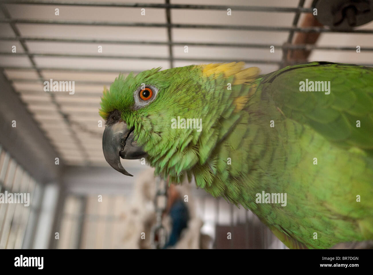 Chewy an older green singing parrot  in his cage in Santa Barbara, California. - Stock Image