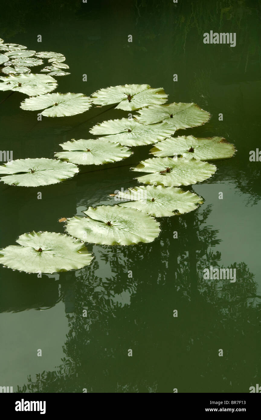 Water lily or lotus leaves with reflection in still water. - Stock Image