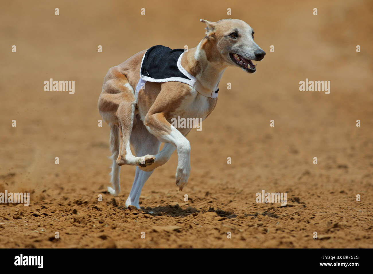 Whippet dog at full speed during a race - Stock Image