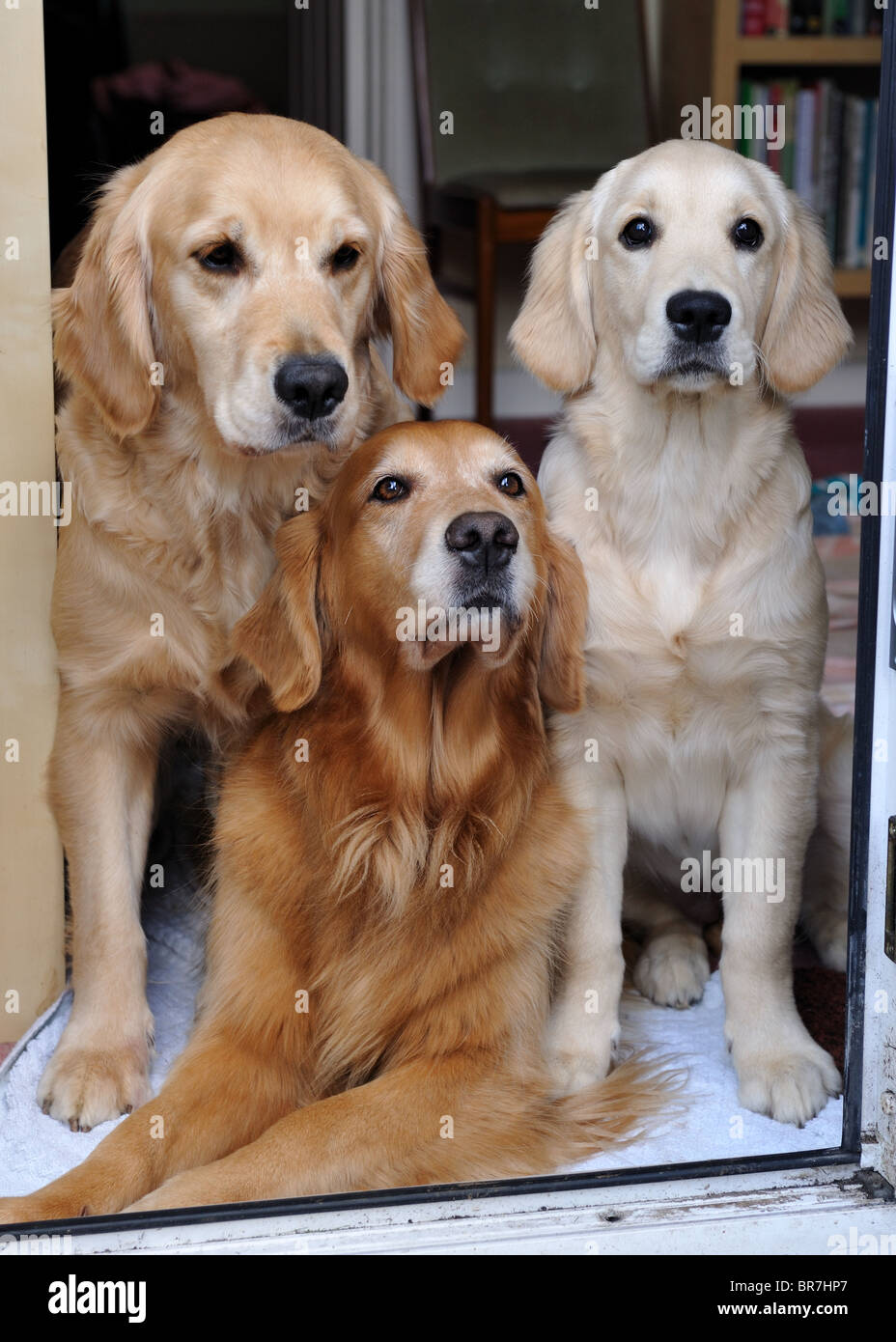 Three golden retrievers gathered in a doorway. - Stock Image