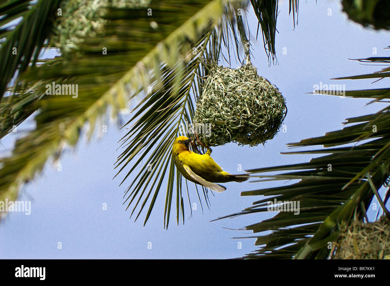 Weaver Bird Building Nest In Palm Tree South Africa Stock Photo