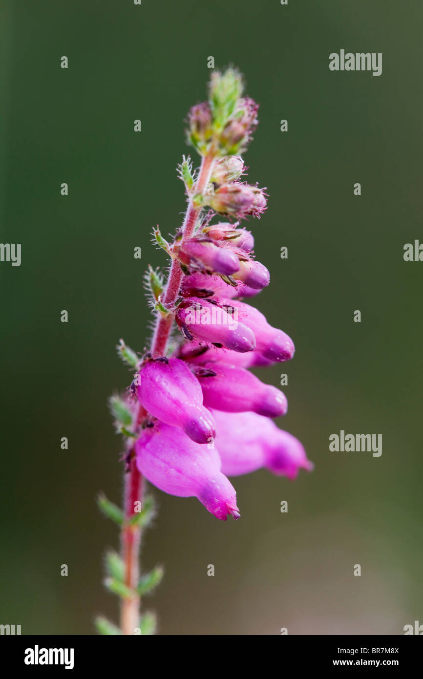 Dorset Heath; Erica ciliaris - Stock Image