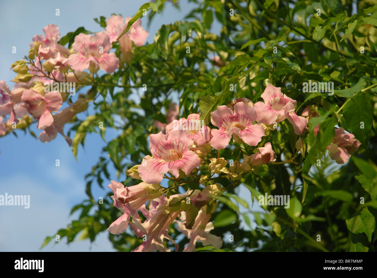 Pink trumpet vine bignonia in flower spain stock photo 31517382 pink trumpet vine bignonia in flower spain mightylinksfo