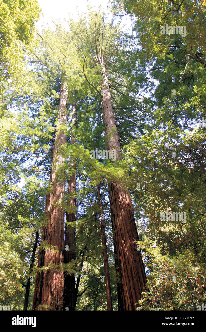 Low-angle of redwoods in Big Bassin Redwoods State Park, California, United States of America - Stock Image