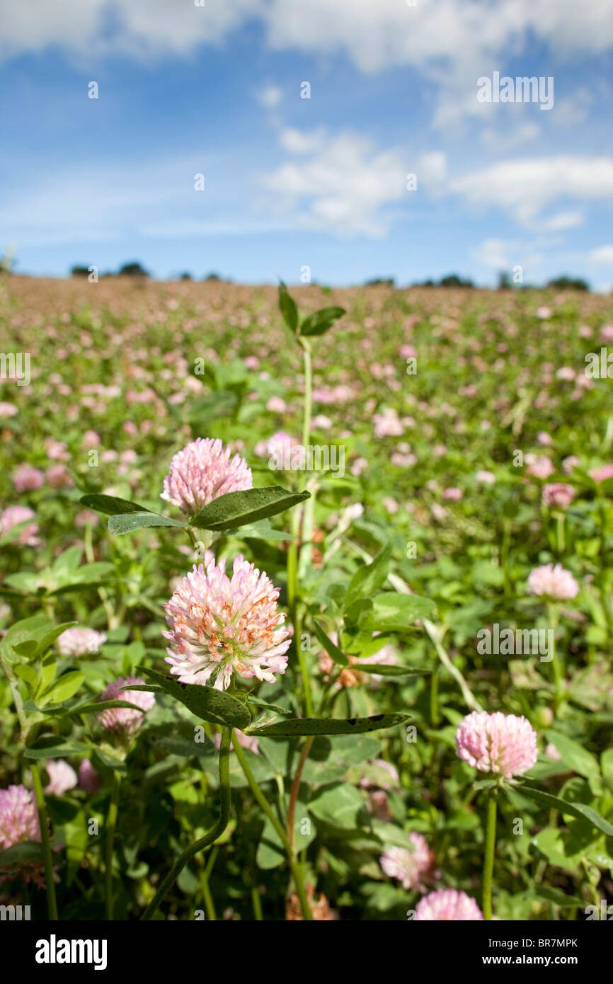 Red Clover Crop; Townshend; Cornwall - Stock Image