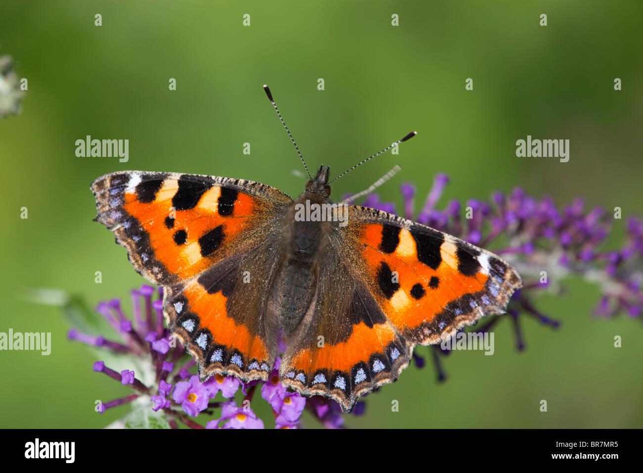 Small Tortoiseshell Butterfly; Aglais urticae; on buddleia - Stock Image