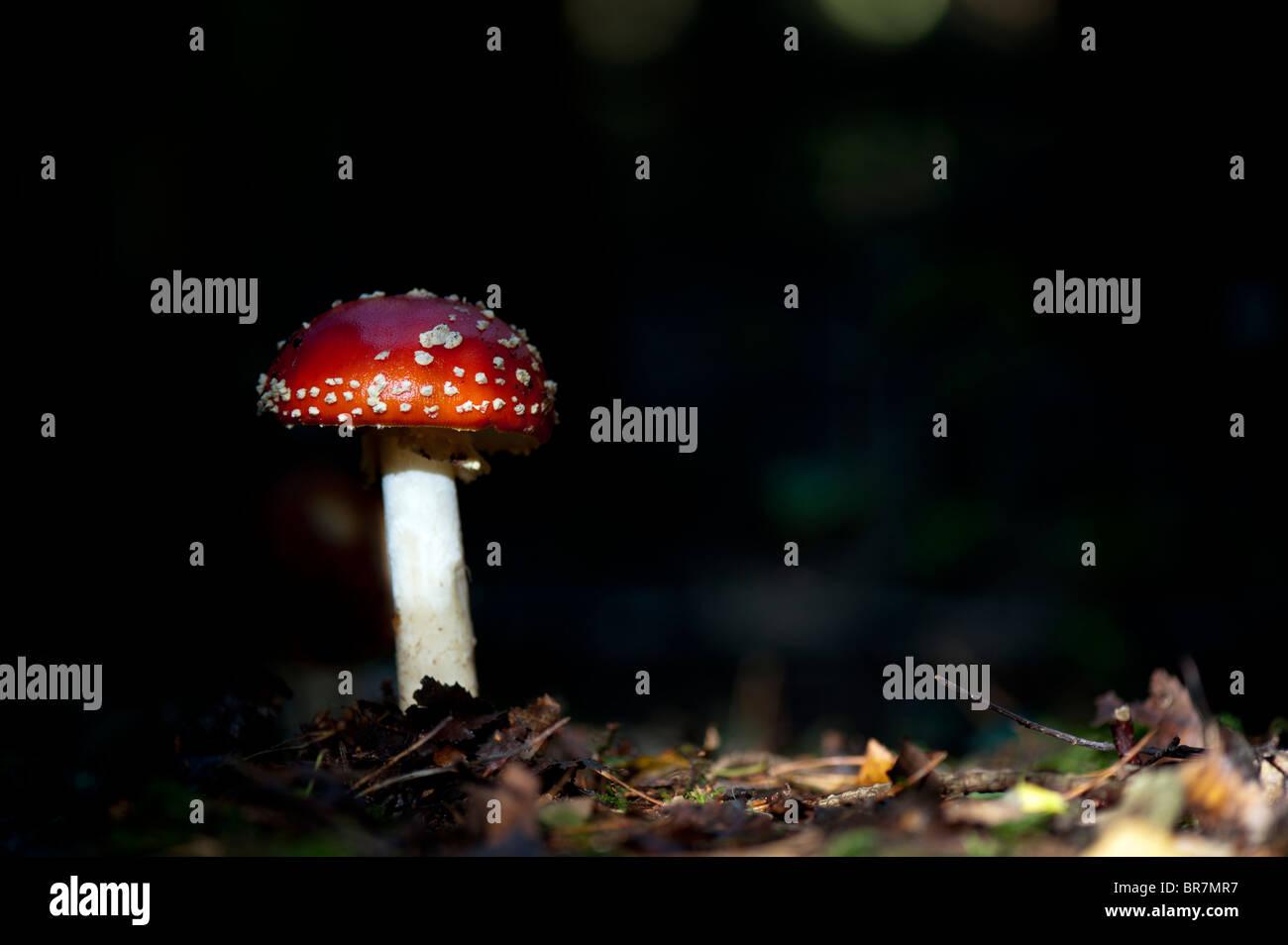 Amanita muscaria, Fly agaric mushroom in an english woodland. Stock Photo