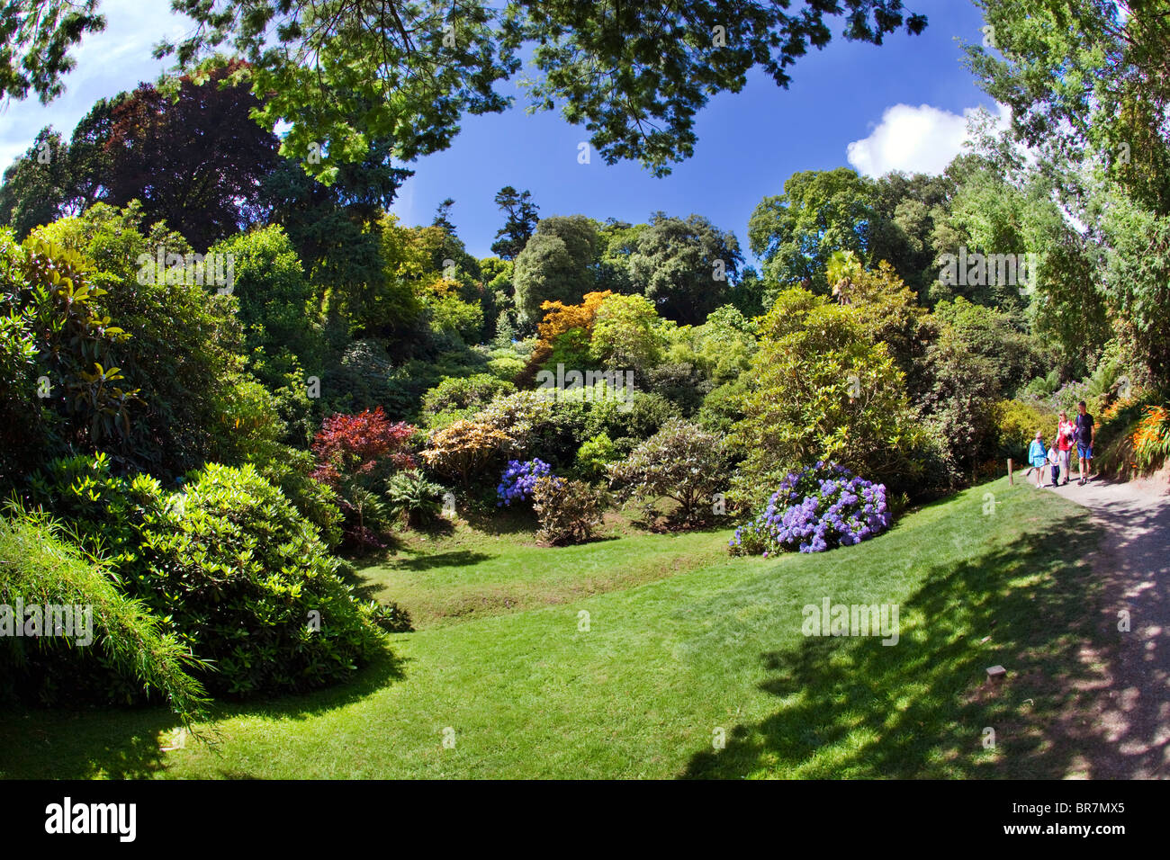 Trebah Garden; hydrangeas in bloom; Cornwall - Stock Image