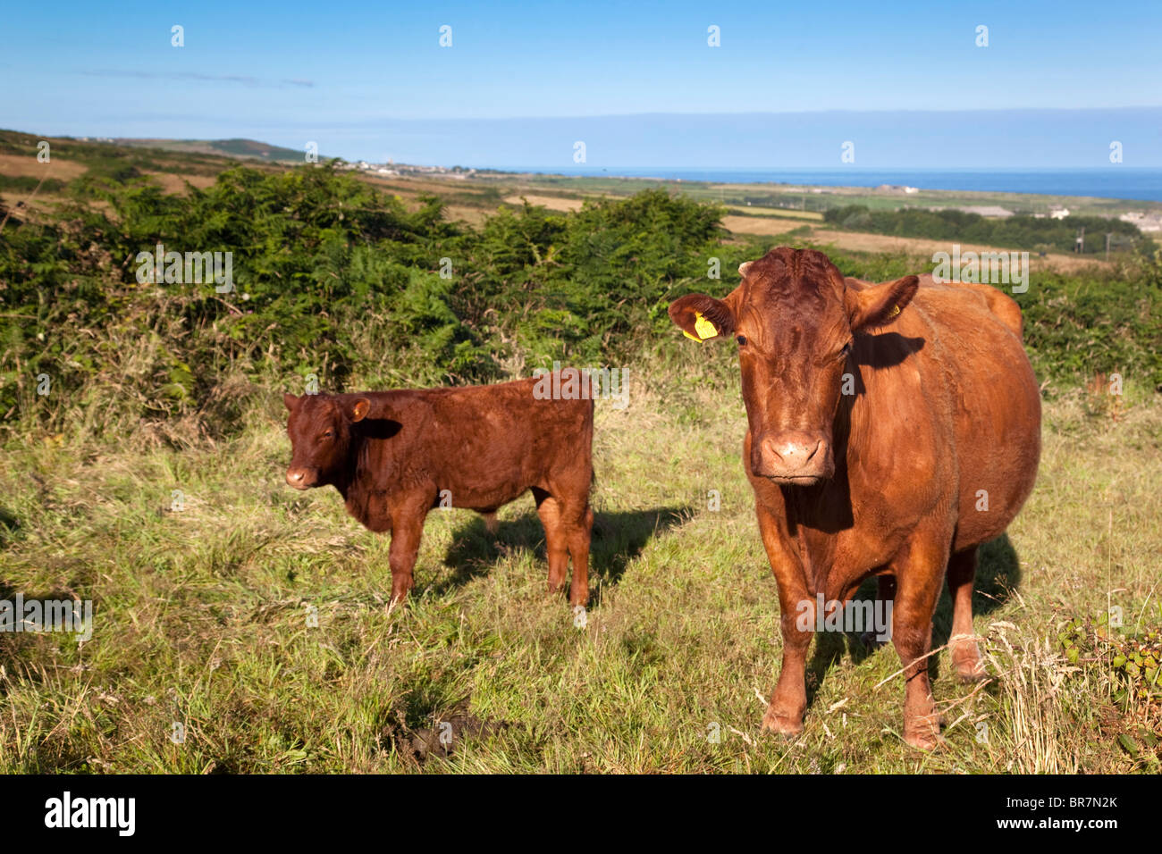 Trevean Farm; red devon cattle; looking to the coast; near Morvah; Cornwall - Stock Image