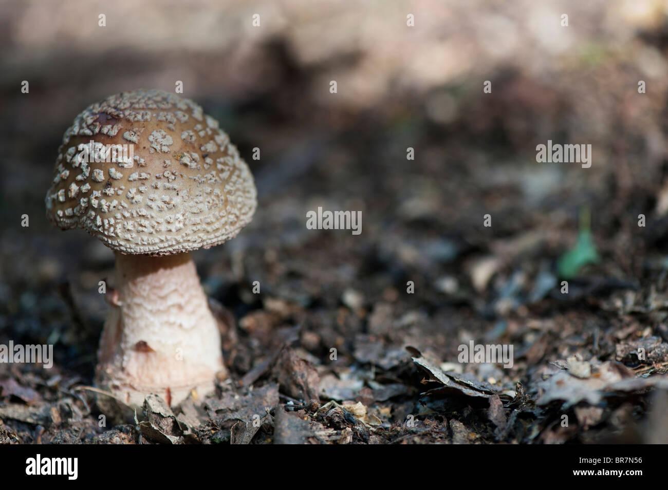 Amanita pantherina, Panther cap mushroom - Stock Image