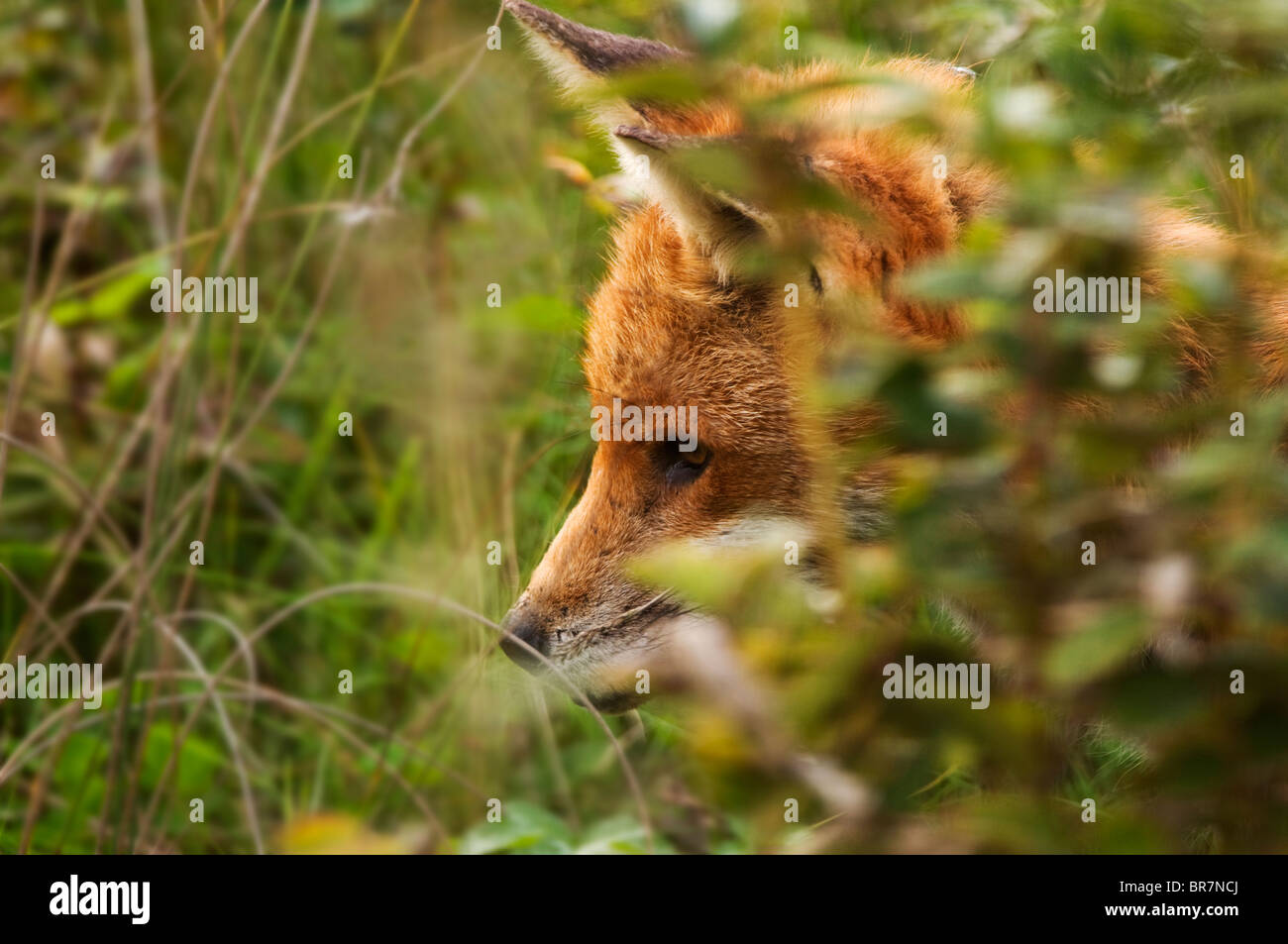 Well grown Red Fox cub in deep cover in Warwickshire countryside Stock Photo
