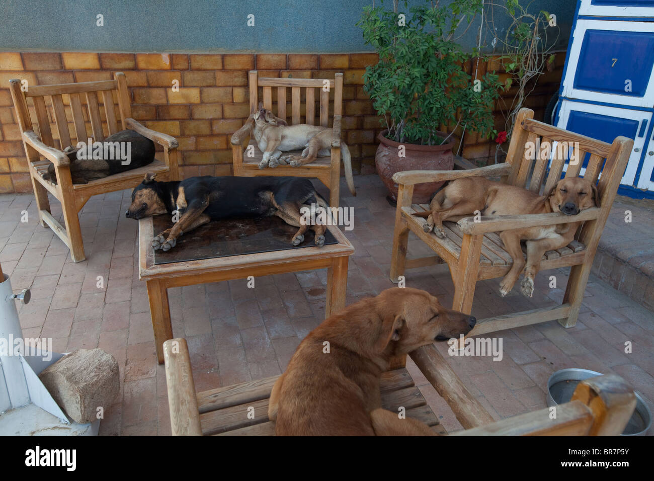 Dogs sleeping on chairs around a table, Dahab, Egypt - Stock Image