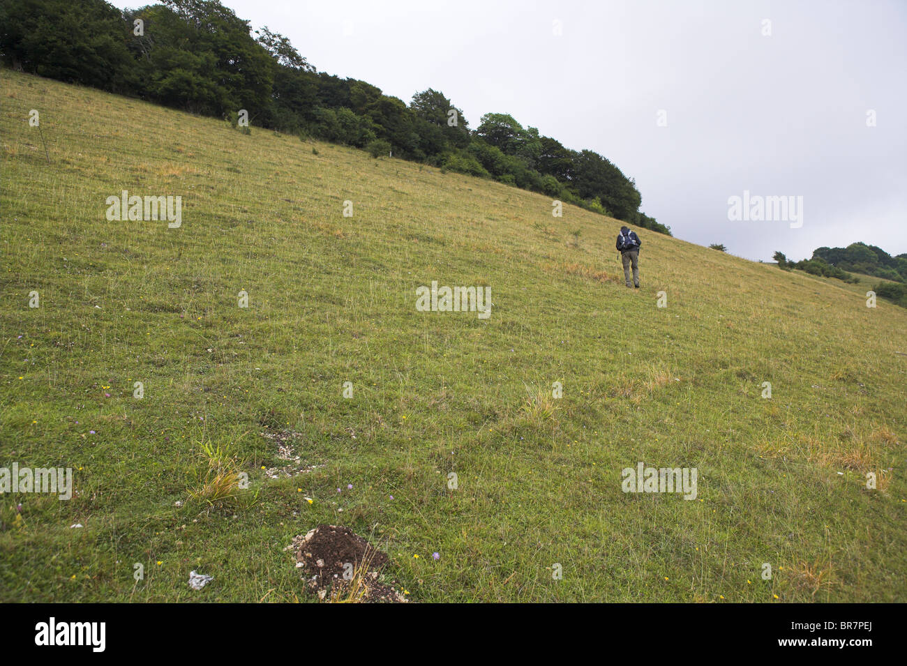 Naturalist walking on chalk downland grassland nature reserve at Aston Rowant, Oxfordshire in August. - Stock Image
