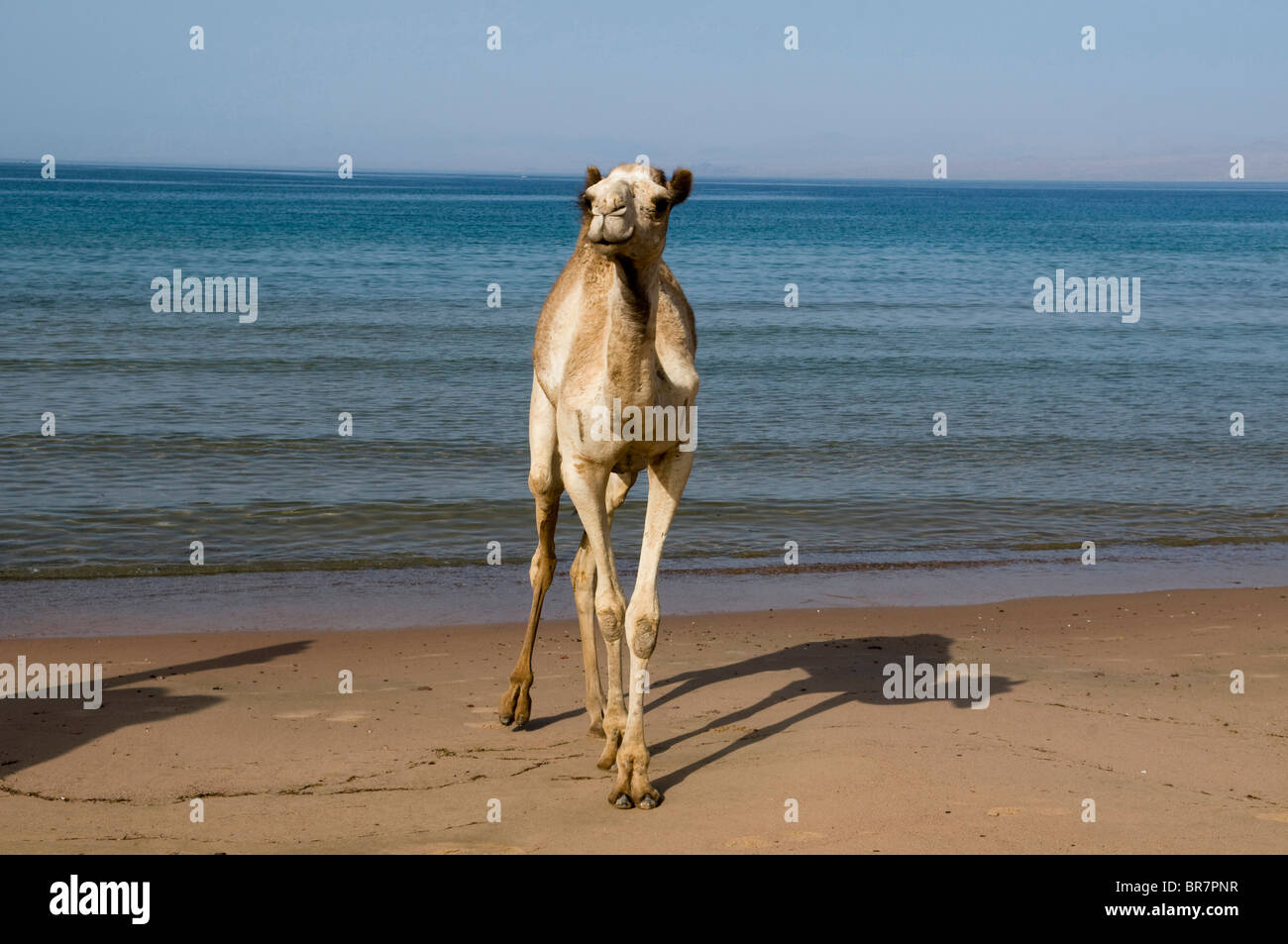 camel walking along the beach next to the Red Sea in the Sinai Desert of Egypt - Stock Image