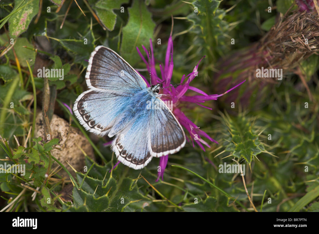 Chalkhill Blue Polyommatus coridon male perched on dwarf thistle flower at Aston Rowant, Oxfordshire in August. - Stock Image
