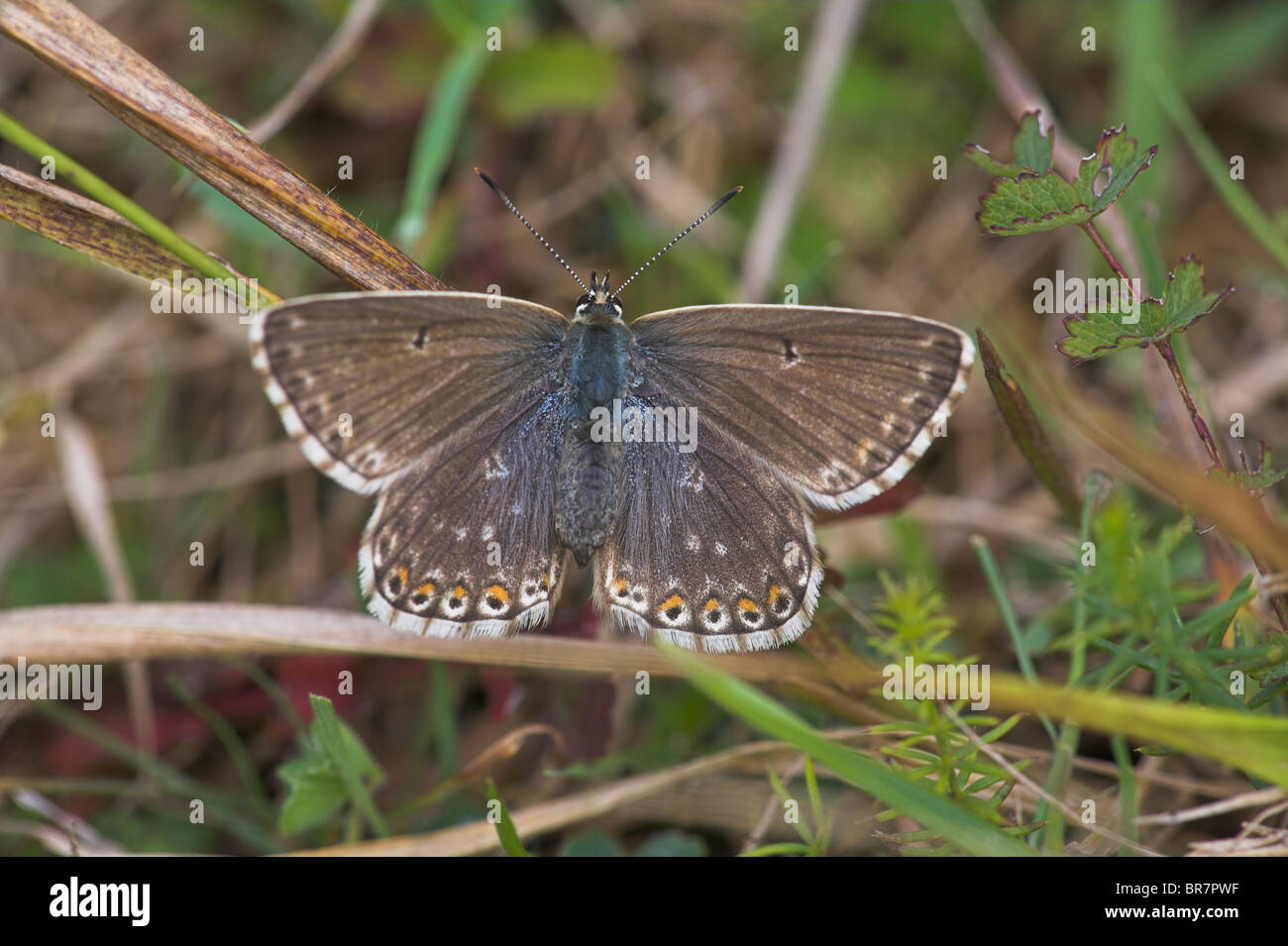 Chalkhill Blue Polyommatus coridon female perched on grass stem at Aston Rowant, Oxfordshire in August. - Stock Image