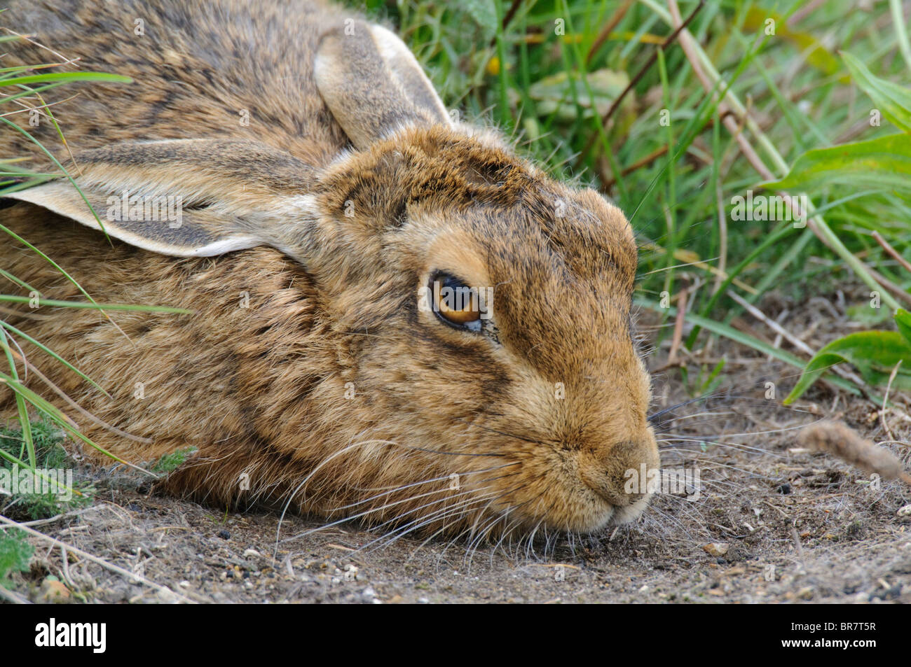 Brown Hare (Lepus europaeus) hiding amongst vegetation on disused airfield runway. - Stock Image