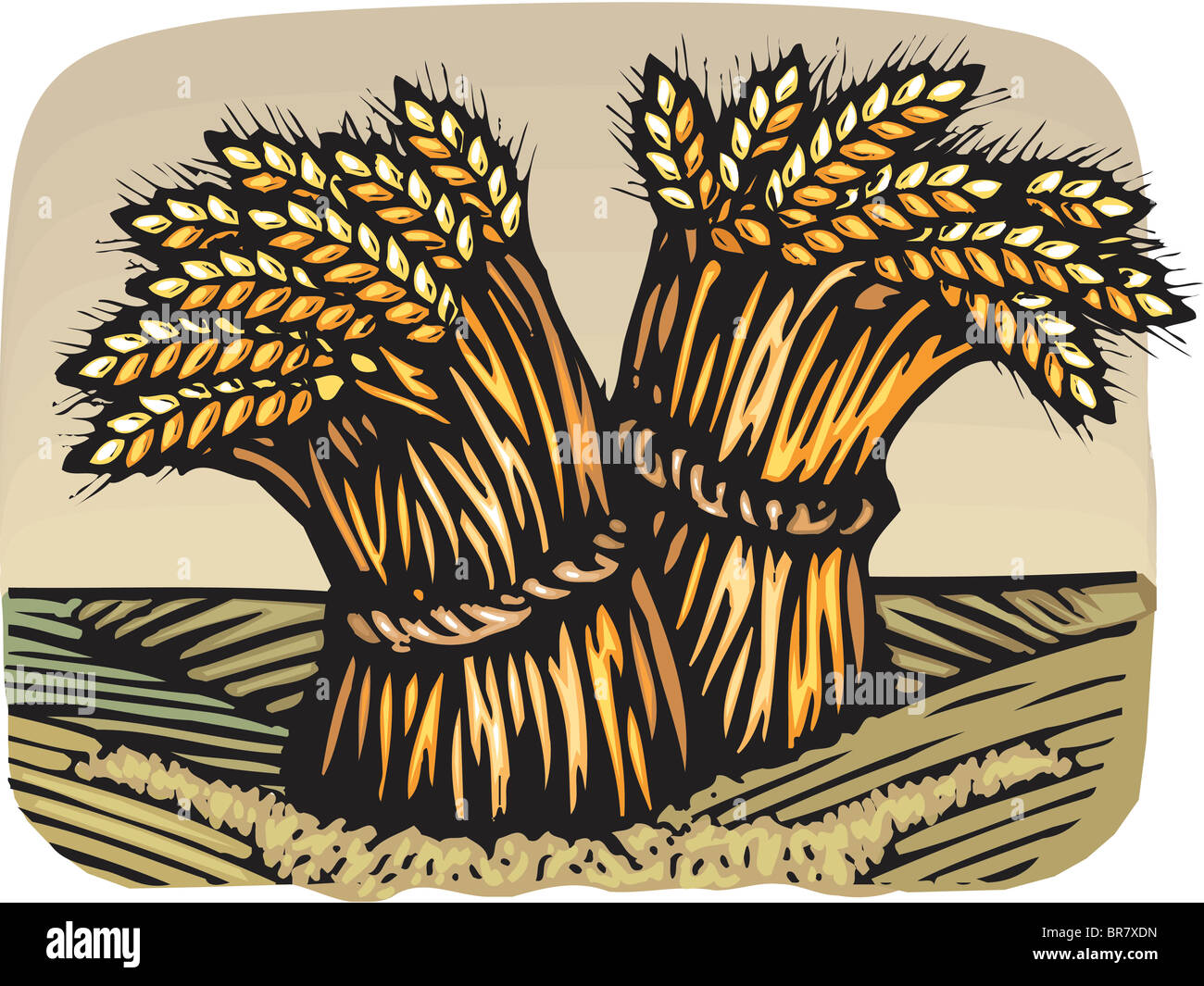 Drawing Of Bunches Of Wheat Stock Photo 31521889 Alamy