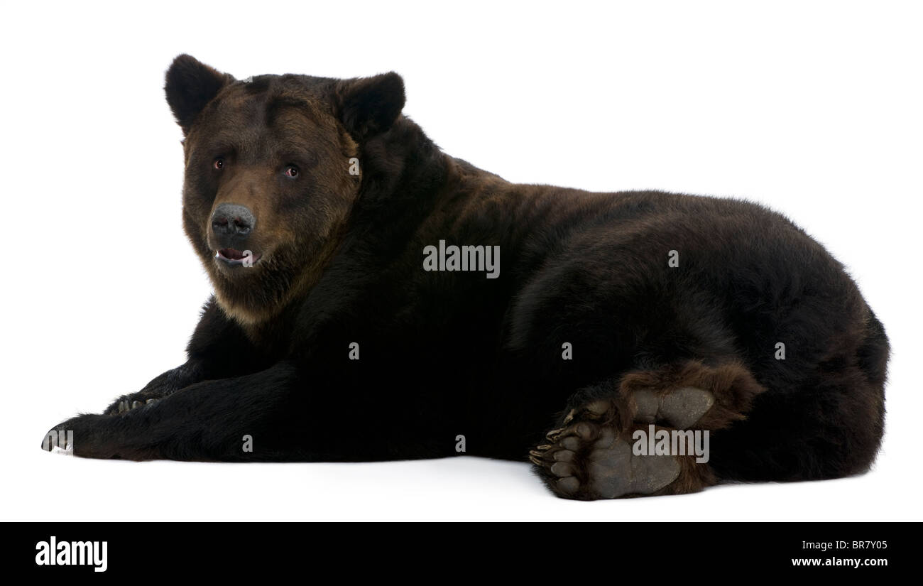 Siberian Brown Bear, 12 years old, lying in front of white background - Stock Image