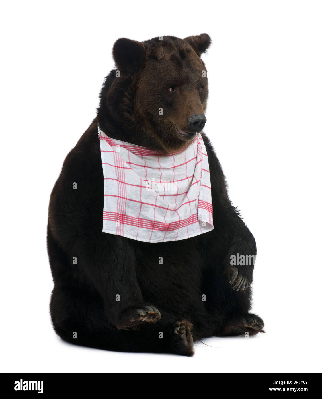 Siberian Brown Bear, 12 years old, sitting with bib on in front of white background - Stock Image