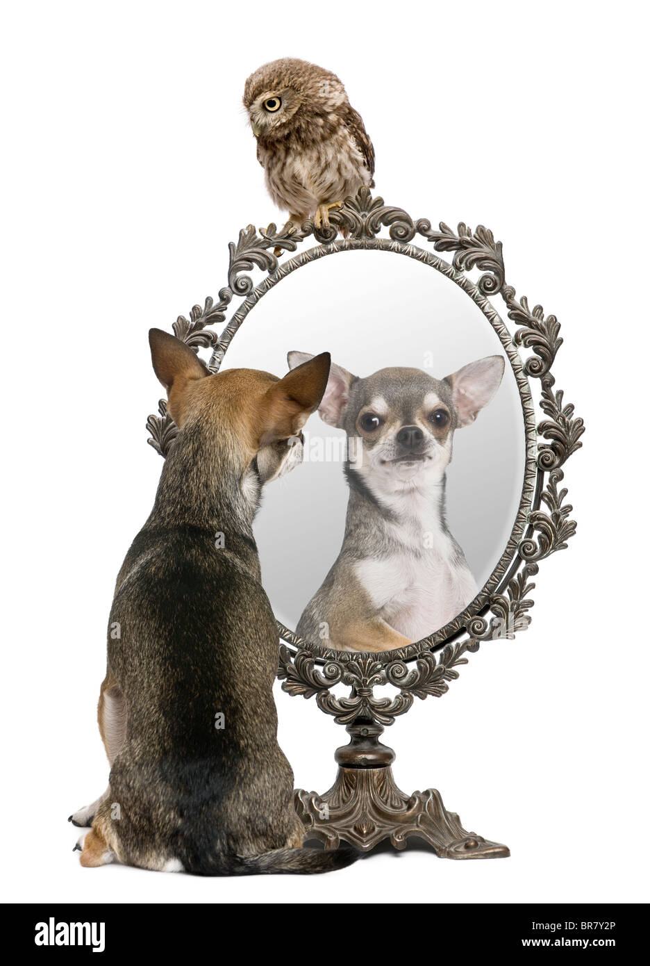 Chihuahua and a Little Owl, 50 days old, Athene noctua, in front of a white background with a mirror Stock Photo