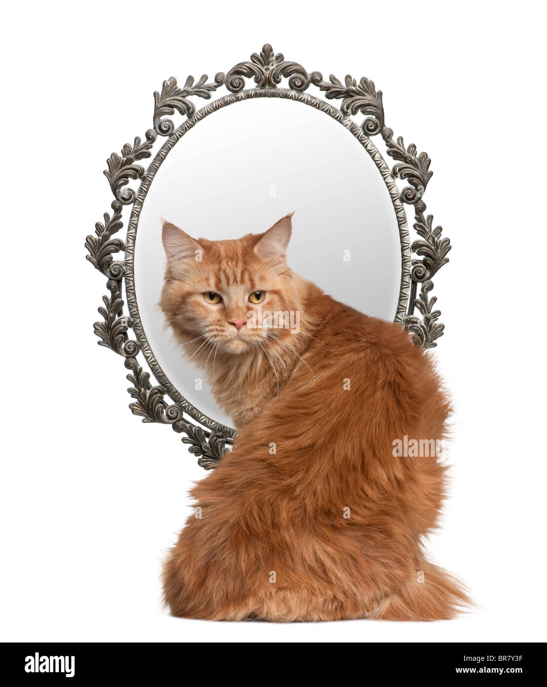 Cat looking back with a mirror in background in front of white background - Stock Image