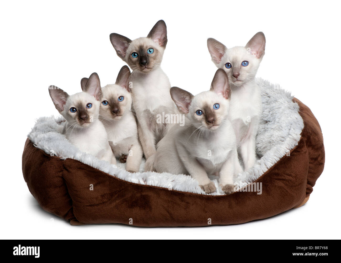 Five Siamese Kittens, 10 weeks old, sitting in cat bed in front of white background - Stock Image